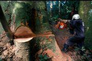 RDC : Greenpeace contre l'octroi de trois concessions pour l'exploitation forestière dans trois provinces
