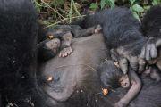 RDC : le parc des Virunga enregistre une 16ème naissance de bébé gorille en 2020