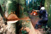 Exploitation forestière : l'Etat congolais responsable du pillage de ses forêts denses