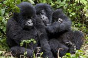 RDC: l'abattage d'espèces protégées autorisé moyennant finances, la polémique monte