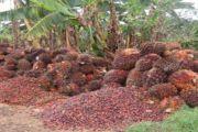 Pistes pour la relance de la production d'huile de palme en RD Congo