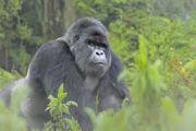 Un nouveau recensement des gorilles de montagne dans le Massif des Virunga