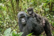 Tourisme : augmentation des gorilles de montagne entre la RDC et l'Ouganda, 1063 individus recensés