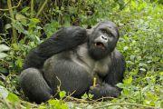 Le nombre des gorilles de montagne augmente dans l'espace Virunga