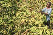 La réduction de la production des bananes se manifeste a Burhale